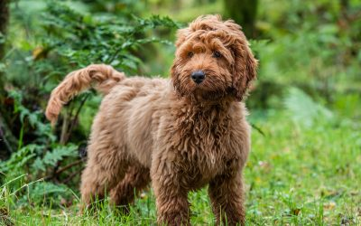 Dog Breed Spotlight – The Cockapoo
