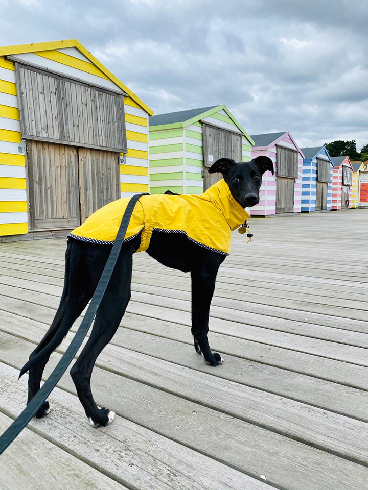 dog boarding St Leonards on Sea Bexhill on Sea Whippet on hastings pier