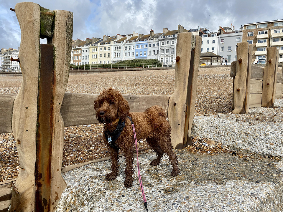 tooting balham clapham home dog boarding by the sea cockapoo hastings beach