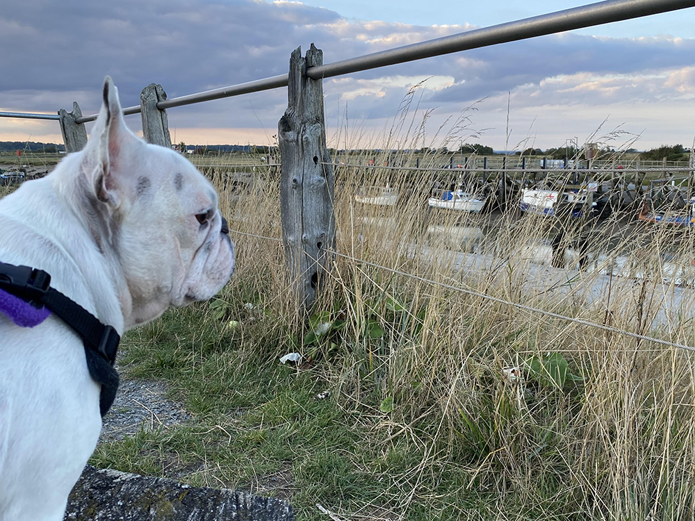 French bulldog Rye Harbour Nature Reserve east sussex