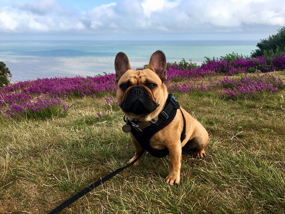 French bulldog dog walking on hastings country park firehills